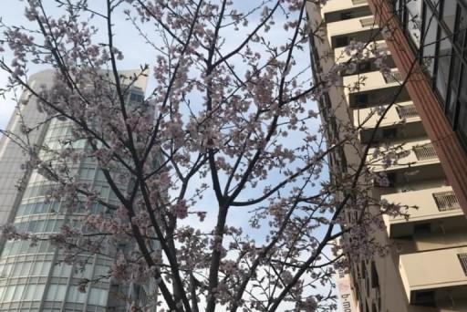 恋旅企画の近くの通りでは、桜並木がそろそろ彩はじめました♪