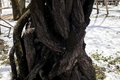 桜の根っこはすごいのです!だからあんなに人の心を虜にするのかな(^^)
